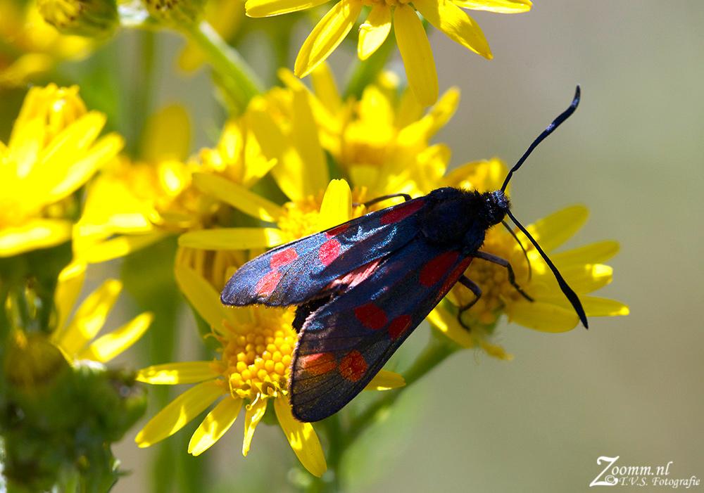 st.jansvlinder.1000